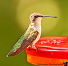 August 22, 2010 - Hummingbird comes home !<br /> <br /> finally managed to attract some hummingbirds home, now to capture them :) such fascinating birds, so energetic, and tiny !