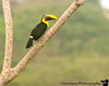 December 22, 2010 - Chestnut mandibled toucan.<br /> <br /> Had a hearty breakfast at Cristal Ballena. Roamed the grounds & spotted this toucan. Cristal Ballena is situated atop a hill, so you get eye-level shots of birds perched below. An ideal birdwatching spot. We left Uvita for the beaches of Manuel Antonio. Arrived at noon, but the room wasn't ready. So spent an hour on the beaches. Manual Antonio is very touristy. Lots of beach activity. I guess this is what CR means to Americans - beach & nightlife. Manuel Antonio has both, which is why most tourists end up here. At the beach, it was very hot & humid. After an hour, we got back to our hotel. The room wasn't ready yet, so spent the next hour sipping pineapple juice! CR is famous for its incredibly tasty frutas & frutas juices.<br /> Spent the rest of the day in the room with the Kindle & the TV, capping off the rest day.