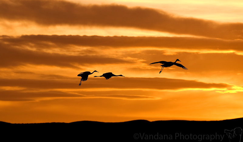 January 24, 2010 - Sandhill crane silhouettes at Bosque