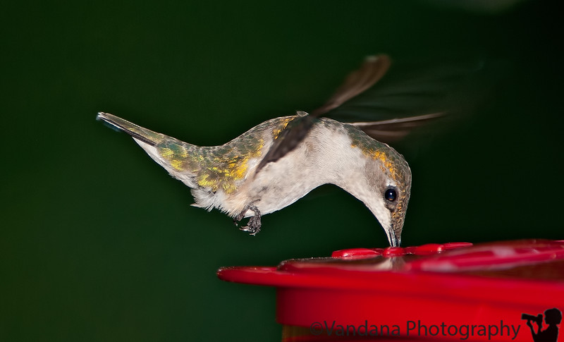 August 26, 2010 - Drink to your fill <br /> <br /> a hummingbird a day keeps boredom away ! thanks for the comments of my hummingbirds ! still learning to get them right ..