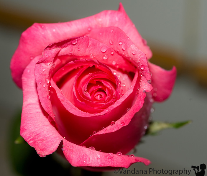January 8, 2010- Roses are pink..