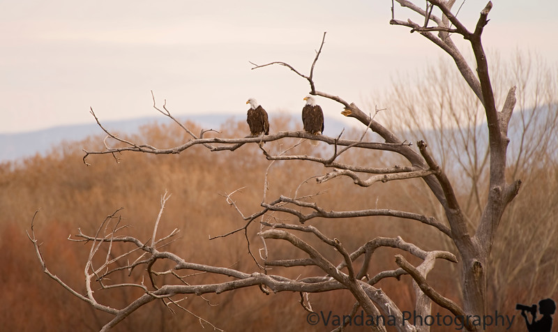 January 20, 2010 - Two on the tree ! from Bosque del apache NWR<br /> <br /> Back from NM, to cold and icy IL :) and back to work !
