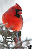 February 15, 2010 - Cardinal in the snow