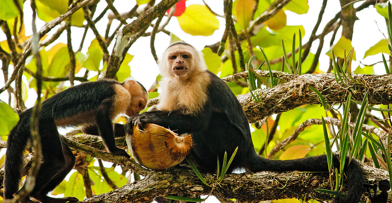 December 20, 2010 - White-faced capuchin monkeys having lunch at Corcovado National Park.<br /> <br /> @7:30 am, we were picked up by a Spanish speaking driver & driven over potholed roads, to be dropped off at Bahia Adventures. This Bahia outfit is one among 20 companies that have sprung up in this region in the past 2-3 years. They ferry passengers across the Pacific to Corcovado National Park, one of the most unspolit & least visited parks in Costa Rica, on account of its inaccessibility. The only way in is 2 hours on a boat, or on an ultralight aircraft.<br /> <br /> So this Bahia company was essentially 1 boat, 1 boatman in his 20s & 1 guide in his late teens. The boat was an underpowered 6feet by 20feet structure clearly meant for a lake, or maybe a calm river. Certainly it had no business doing anything on the Pacific.<br /> <br /> Of course we didn't know any of this going in. We were excited that we were going to go across the Pacific, and happily jumped in. The boat left the shores of Marina Balena & we were on our way. Our guide warned us that we were going in high tide, and it soon became amply clear. The rough waves of the Pacific only got rougher, and our little boat was tossed and turned with every wave. It behaved like a paper boat in the ocean - one giant wave could simply swallow it.<br /> We felt very unsafe & uneasy. The captain & the guide tried to reassure us, but they were essentially little kids trying to man a dinky boat, and they knew it. Soon it started raining. The boat would literally lift a couple of feet  into the air and then crash back with a thud. This action repeated with every oncoming wave, and we held on for dear life. Both of us realized this was a horribly bad idea, to take a little boat out in the middle of the Pacific. <br /> <br /> We gave up any hope of survival. V said she felt sorry she hadn't had a chance to speak with her mom last week, now that she was going away. I was too busy concocting last minute plans of surviva