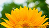 May 28, 2010 - The dandy on sunflower