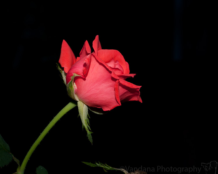September 28, 2010 - a rose is a rose is a ....