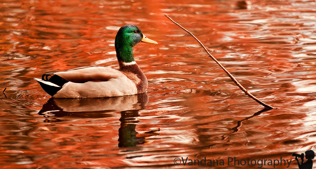 November 18, 2011 - Mallard in Greenbriar lake