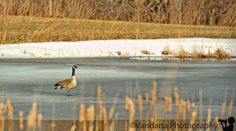 March 17, 2011 - a goose frozen