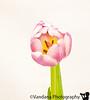 April 21, 2011 - Tulips