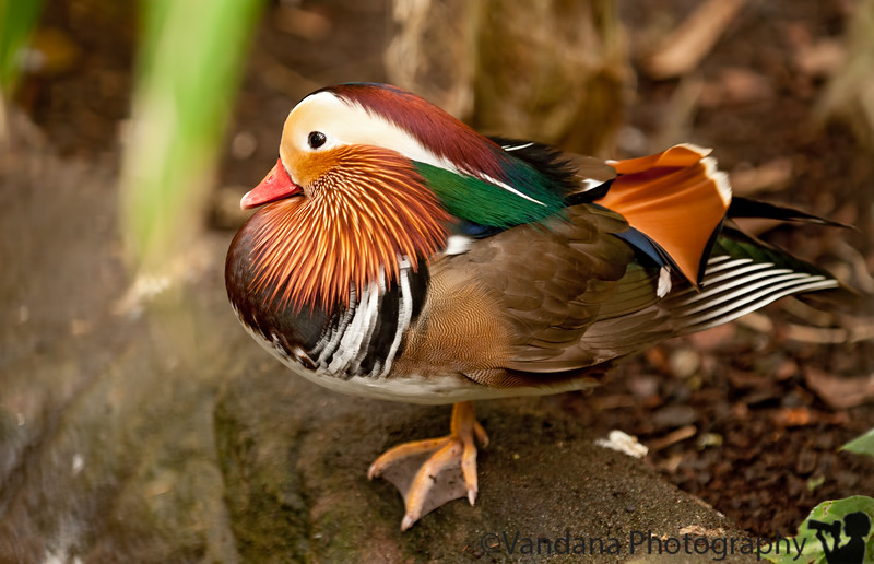 November 29,2011 - the Mandarin duck