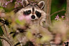 May 31, 2011 - the racoon sneaks in