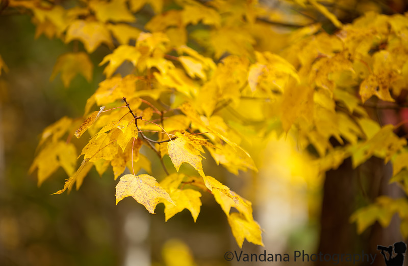 October 22, 2011 - leaves of gold