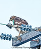 March 18, 2011 - the urban Hawk