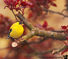 May 6, 2011- fat gold finch