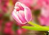 March 22, 2011 - the tulip rises