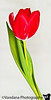 March 11, 2011 - a tulip for the hard times<br /> <br /> our thoughts and prayers are with Japan in the wake of the massive earthquake..