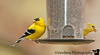May 16, 2011 -Goldfinches