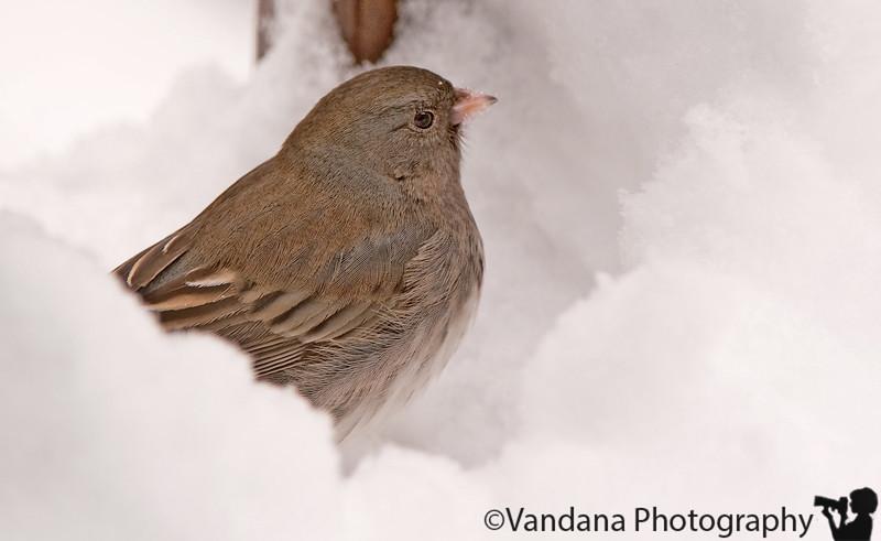 Feb 5, 2011 - Junco (?) in the snow