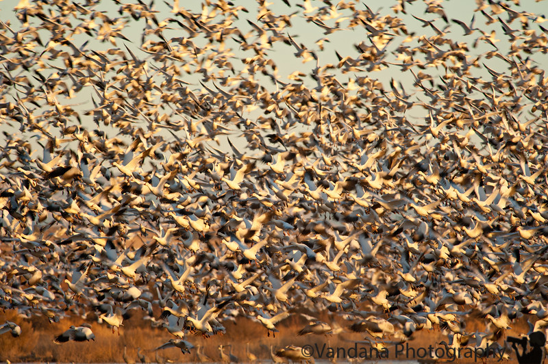 Jan 29, 2011 - Can't wait to fly !  the snow geese rush to take off, Bosque del apache NWR