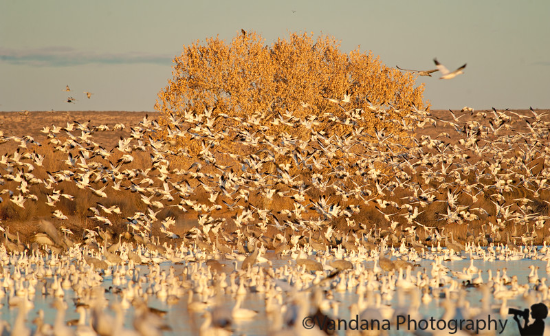 Jan 22, 2011 - Snow Geese lift-off at Bosque Del Apache national wildlife refuge, NM<br /> <br /> wonderful evening light, 41,000 snow geese, 10K sandhill cranes - much more birds this year as compared to the last few yrs, 60F make for a wonderful evening !