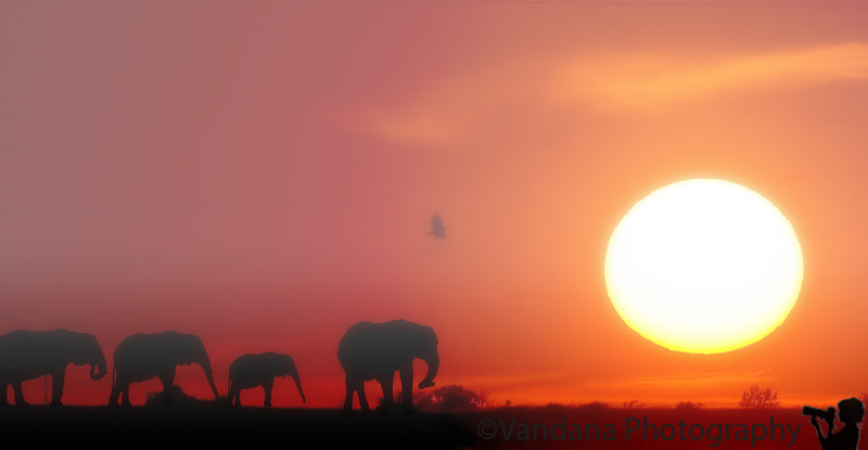 December 16, 2011 - Elephants at sunset<br /> <br /> A composite image made from multiple elephant shots taken at the African Safari section of NC zoo, merged onto a sunset from New Mexico. This is the last of my fantasy compositions for now!, enuf of photoshop..now to shoot some real wildlife ! Flying to Tampa, FL in the next few hours( Saturday), then a Western Caribbean cruise starts Sunday !! We wanted to see some Mayan ruins before the world ends in 2012 ! If I have wireless, will connect with you all soon !