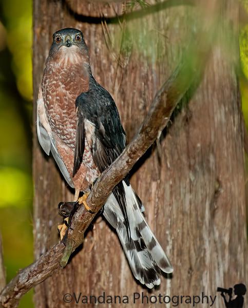 October 20, 2011 - A cooper's hawk stares me down
