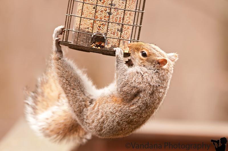 April 22, 2011 - attack of the squirrel-proof birdfeeder !
