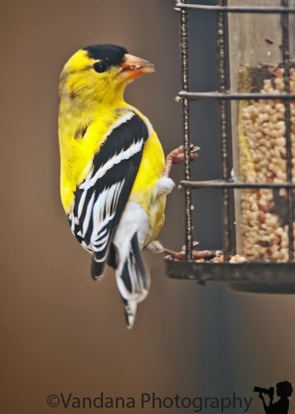 April 27, 2011 - A goldfinch comes to feed