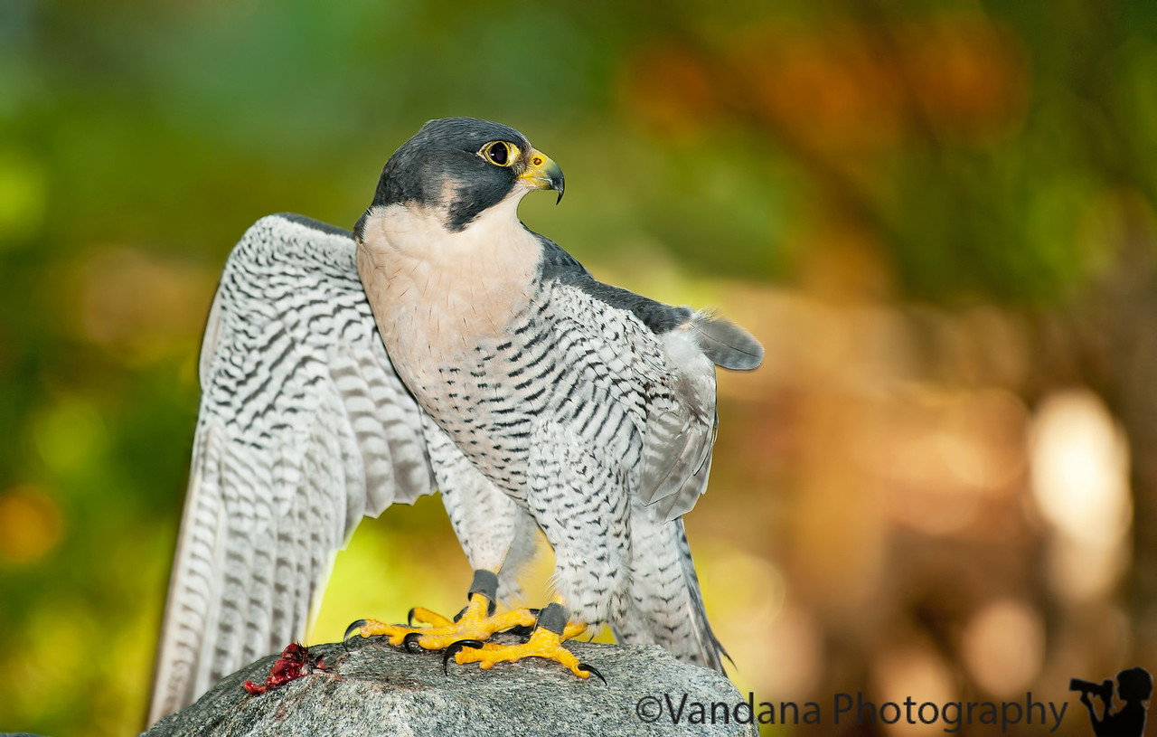 December 8, 2011 - Peregrine Falcon at Carolina Raptor Center