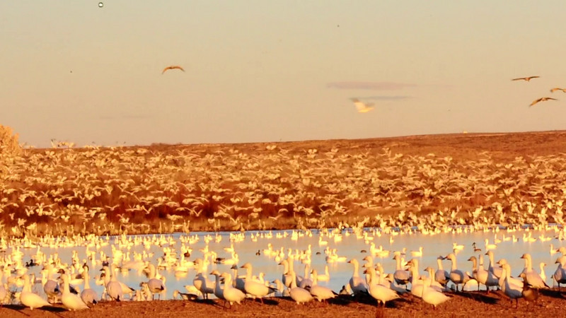 Jan 31, 2011 - Snow geese take off at Bosque del apache NWR, NM,  listen to the sounds of the take-off !