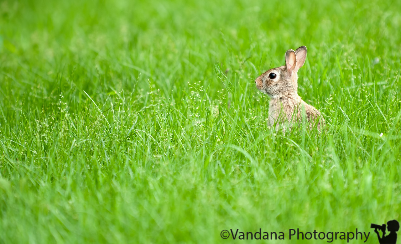 June 28, 2011 - Hare in the grass