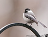 April 17, 2011 - Chickadee in the backyard<br /> <br /> snow this morning (4/18) !! is spring here yet ?!