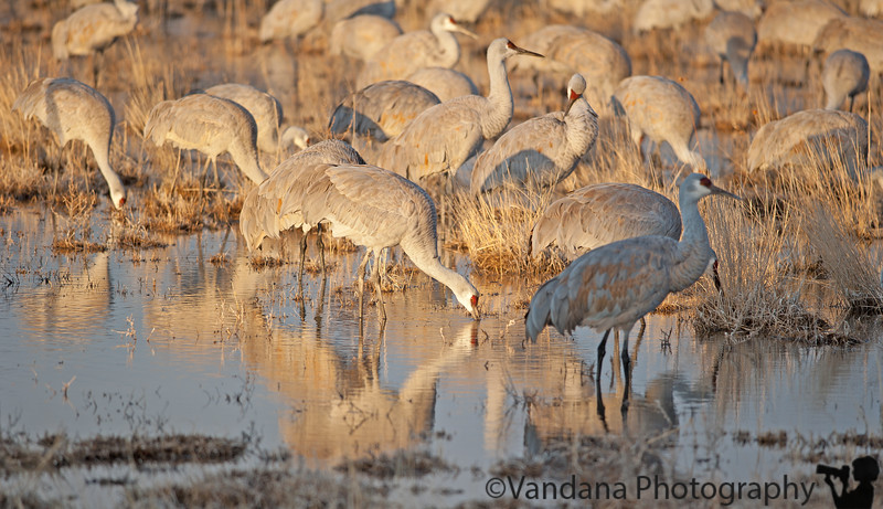 Jan 28, 2011 - Sandhill cranes in the crane pond, early morning at Bosque<br /> <br /> so many photos from Bosque, still processing !