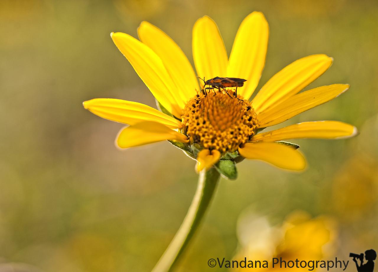 August 16, 2011 - Summer yellows