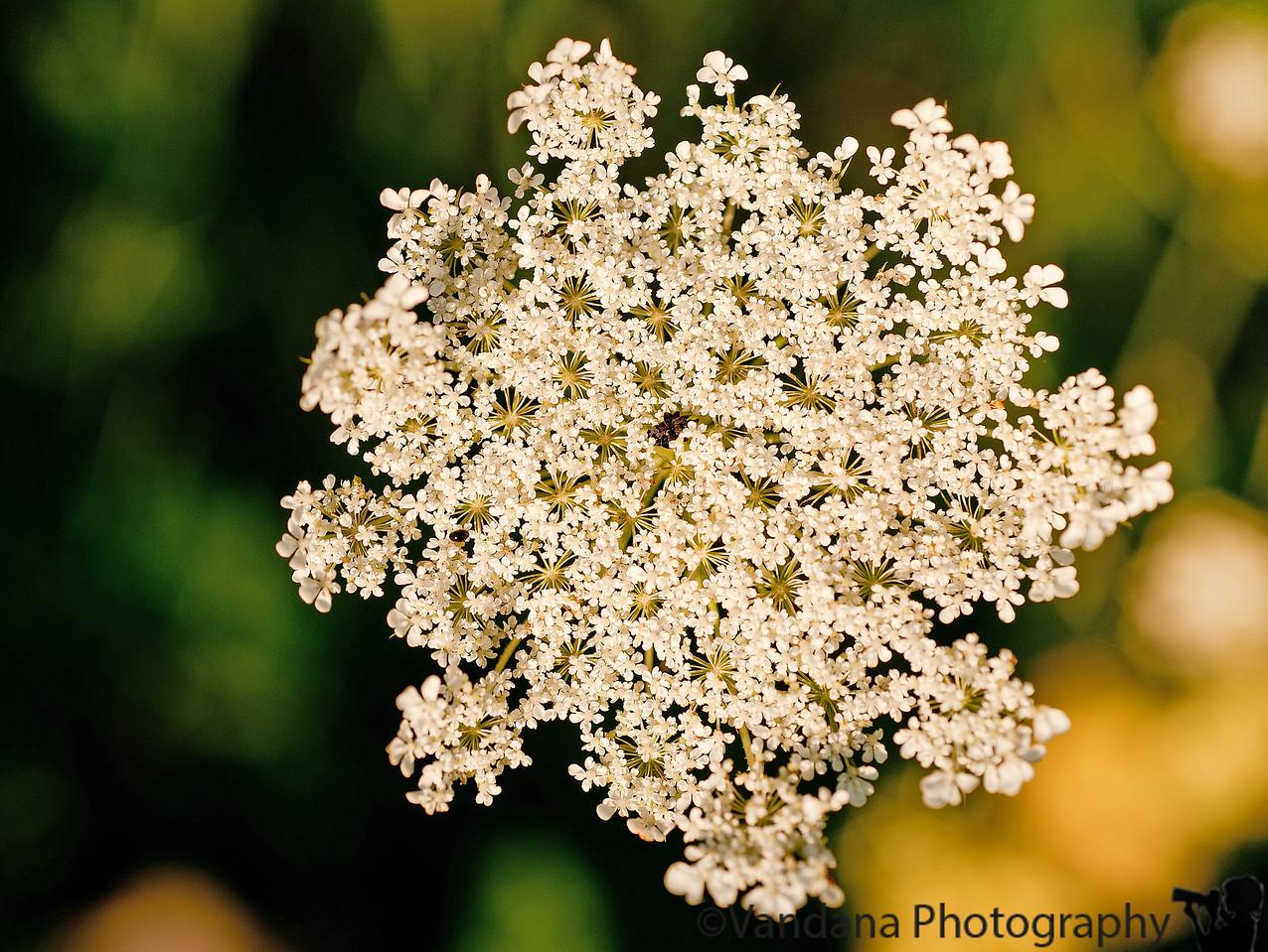 August 19, 2011 - wildflowers