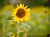 September 5, 2011 - in a sunflower field