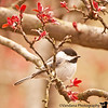 April 23, 2011 - Chickadee in spring <br /> <br /> Happy Easter to everybody !