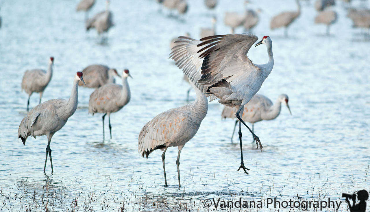 "Jan 27, 2011 - Cranes at play  early morning at a crane pond is a fun watch..they play, they seem to tease each other, fight, and then prepare for take-off :) ! more shots from Bosque 2011 <a href=""http://vandana.smugmug.com/gallery/15612029_W8Xzs"">here<a/>"