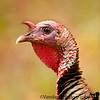 May 28, 2011 - the wild turkey