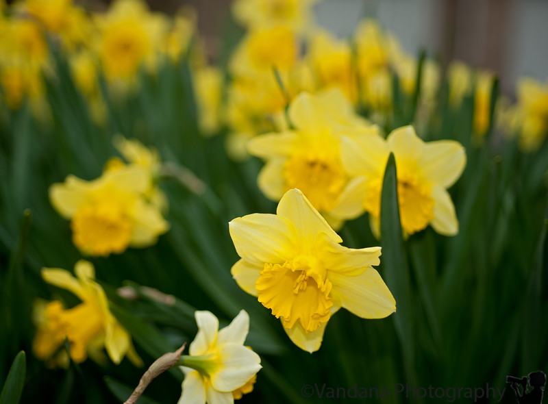 June 1, 2011 - where have all the daffodils gone ?!