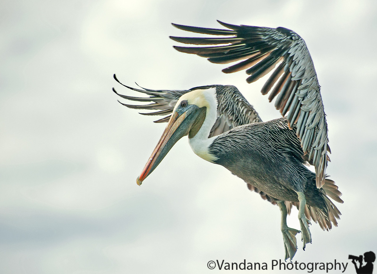 Nov 17, 2011- a pelican in flight