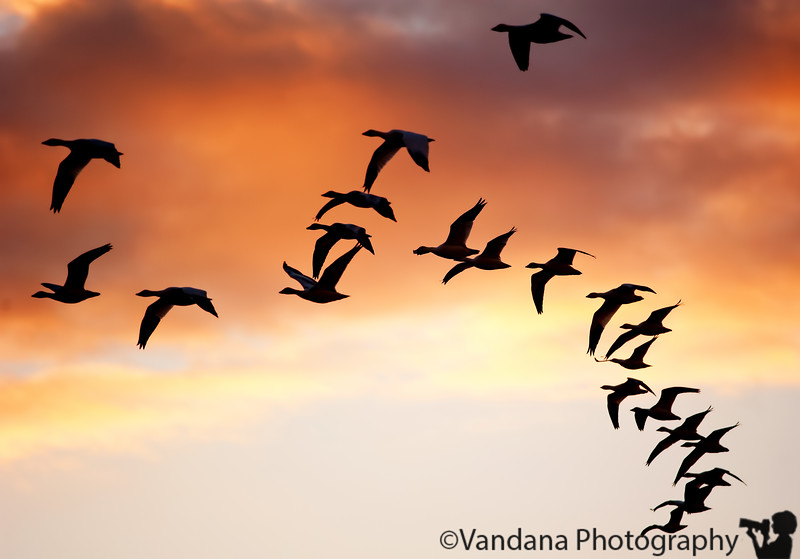 Jan 26, 2011 - Snow geese in silhouette, Bosque del apache NWR at sunrise  thank you all for the very nice comments on the Bosque reflections !