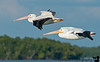 December 26, 2011 - American white pelicans in flight, Everglades National Park near Gulf Coast Visitor Center.<br /> <br /> Back in Florida after the cruise !