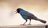 December 4, 2011 - Black and blue - the common grackle