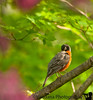 May 20, 2011 - the shy robin