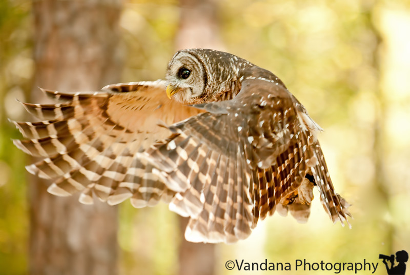 Oct 18, 2011. Owl in flight  At the Carolina Raptor Center.