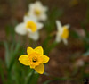 April 16, 2011 -  daffodils in the backyard !