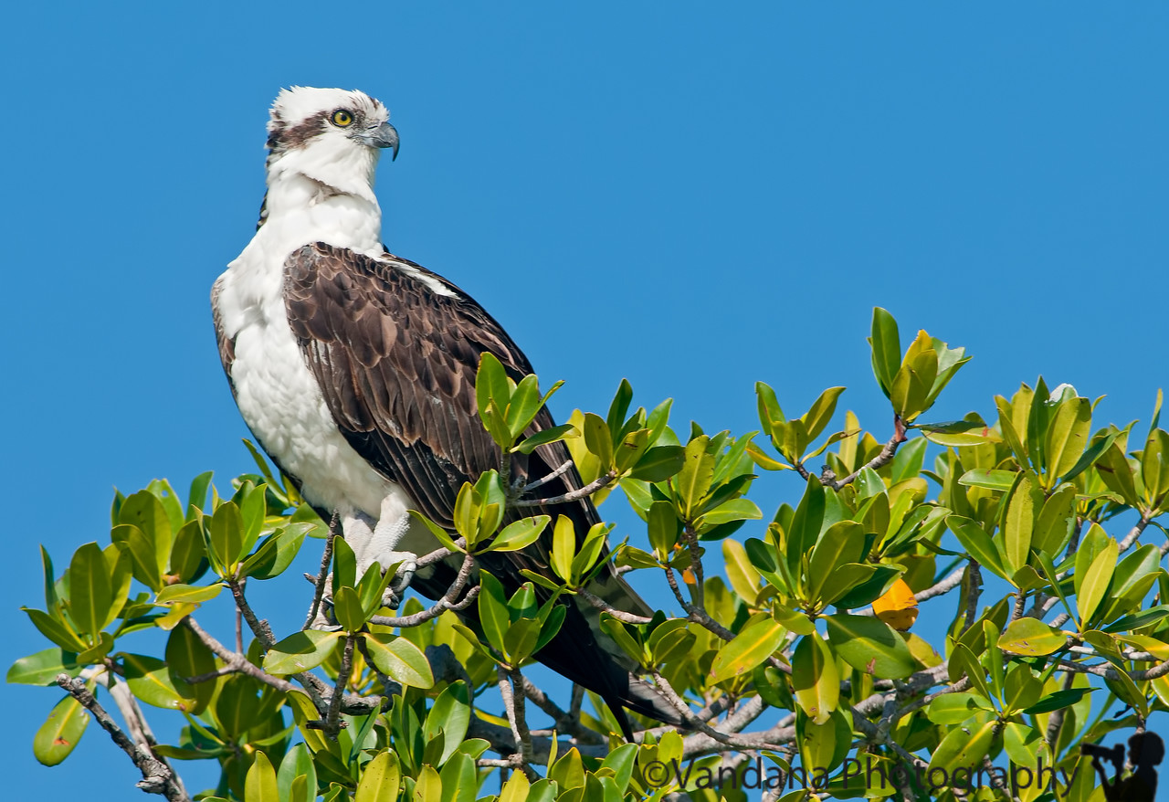 December 29, 2011 - Spotted an Osprey on Florida Bay boat tour, at Everglades National Park Visitor Center, Flamingo, FL