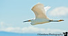 April 2, 2011 - Egret in flight, Bolsa Chica biological reserve, CA