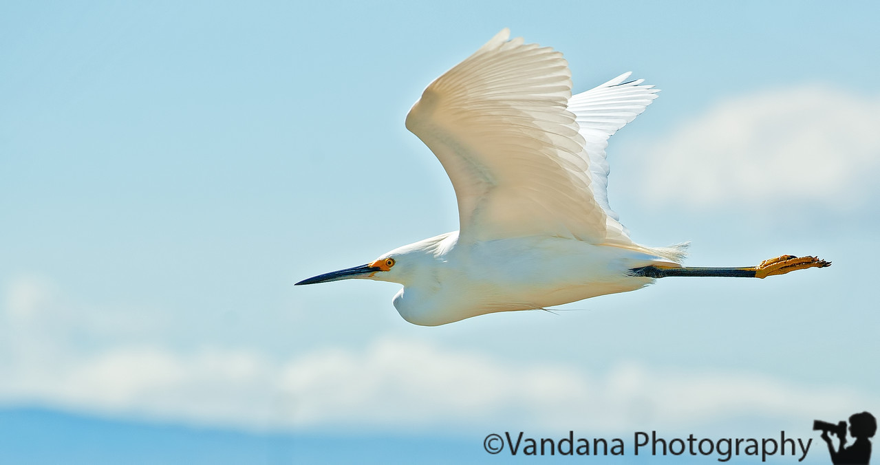 April 2, 2011 - Egret in flight, Bolsa Chica biological reserve, CA